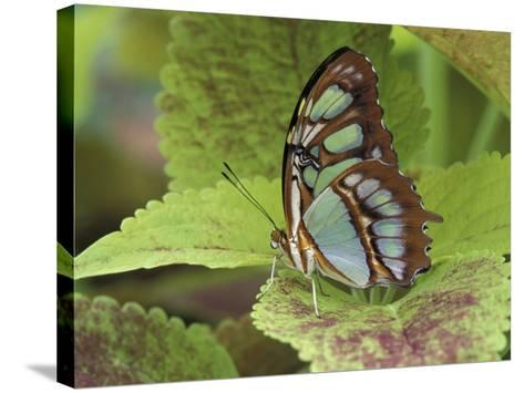 Malachite Butterfly-Adam Jones-Stretched Canvas Print