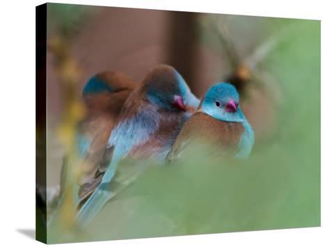 Blue-Capped Cordon Bleu-Adam Jones-Stretched Canvas Print