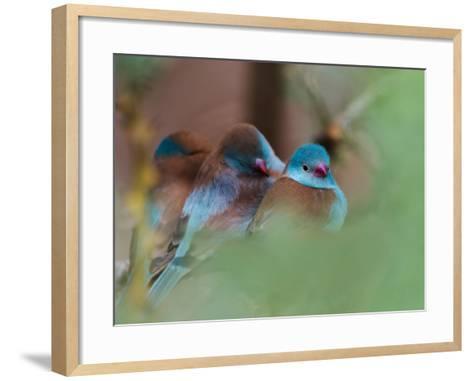 Blue-Capped Cordon Bleu-Adam Jones-Framed Art Print