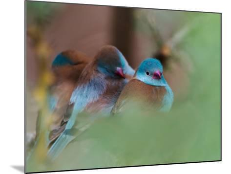 Blue-Capped Cordon Bleu-Adam Jones-Mounted Photographic Print
