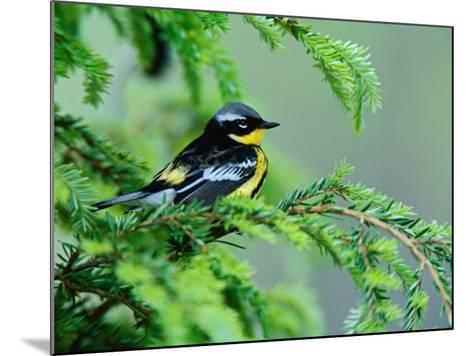 Male Magnolia Warbler-Adam Jones-Mounted Photographic Print