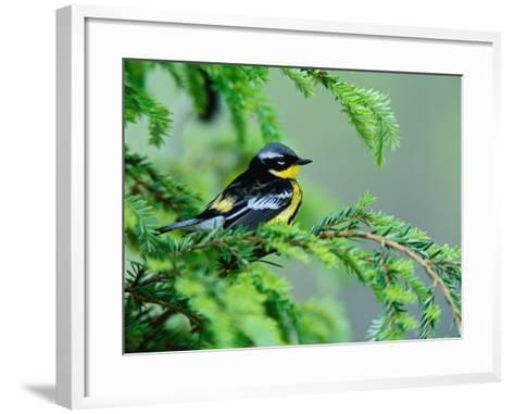 Male Magnolia Warbler-Adam Jones-Framed Art Print