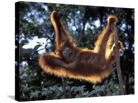 Borneo, Tanjung National Park Orangutan (Pongo Pygmaeus) juvenile stretching out between branches-Theo Allofs-Stretched Canvas Print