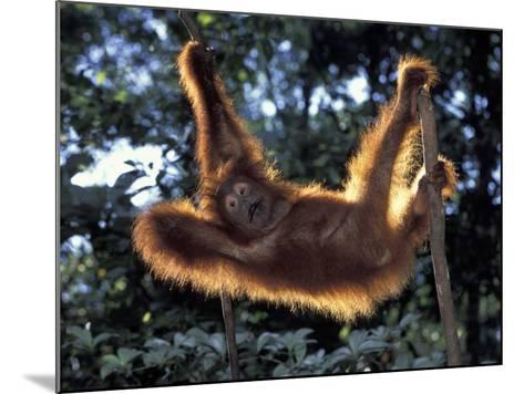 Borneo, Tanjung National Park Orangutan (Pongo Pygmaeus) juvenile stretching out between branches-Theo Allofs-Mounted Photographic Print