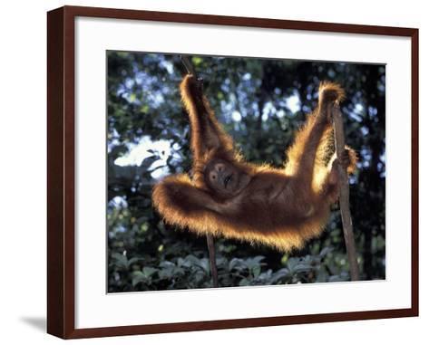 Borneo, Tanjung National Park Orangutan (Pongo Pygmaeus) juvenile stretching out between branches-Theo Allofs-Framed Art Print