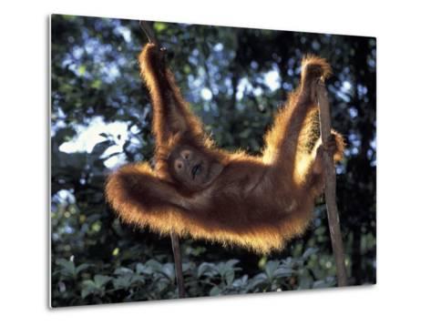 Borneo, Tanjung National Park Orangutan (Pongo Pygmaeus) juvenile stretching out between branches-Theo Allofs-Metal Print