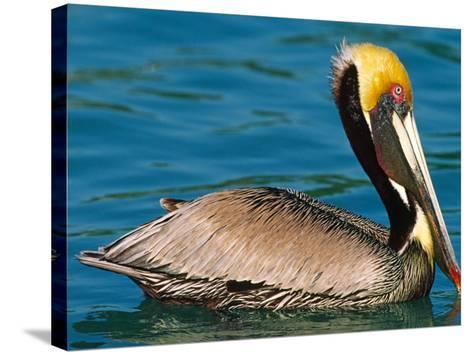 Male Brown Pelican in Breeding Plumage, Mexico-Charles Sleicher-Stretched Canvas Print