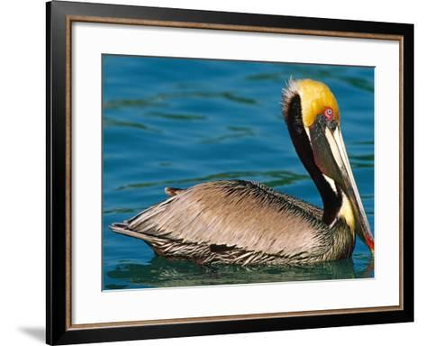Male Brown Pelican in Breeding Plumage, Mexico-Charles Sleicher-Framed Art Print