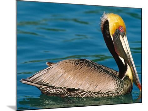 Male Brown Pelican in Breeding Plumage, Mexico-Charles Sleicher-Mounted Photographic Print