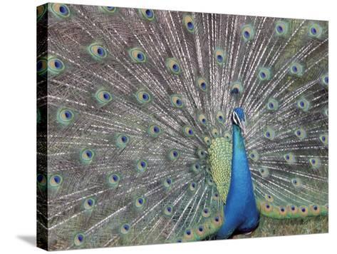 Peacock Displaying Feathers, Venezuela-Stuart Westmoreland-Stretched Canvas Print