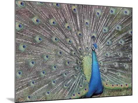 Peacock Displaying Feathers, Venezuela-Stuart Westmoreland-Mounted Photographic Print