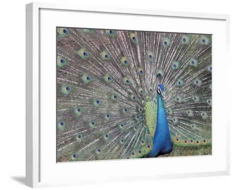 Peacock Displaying Feathers, Venezuela-Stuart Westmoreland-Framed Art Print