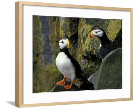 Horned Puffins on the Cliffs at Zapadni Sea Bird Colony, Pribilofs, St. Paul Island, Alaska, USA-Hugh Rose-Framed Art Print