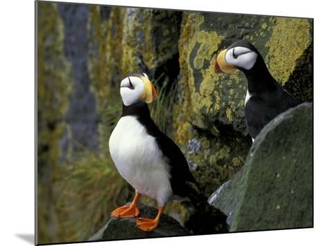 Horned Puffins on the Cliffs at Zapadni Sea Bird Colony, Pribilofs, St. Paul Island, Alaska, USA-Hugh Rose-Mounted Photographic Print