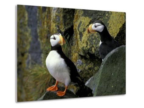 Horned Puffins on the Cliffs at Zapadni Sea Bird Colony, Pribilofs, St. Paul Island, Alaska, USA-Hugh Rose-Metal Print