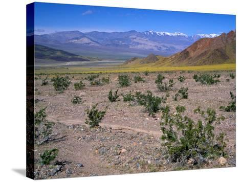 Desert Gold Wildflowers and Black Mountains, Death Valley National Park, California, USA-Jamie & Judy Wild-Stretched Canvas Print