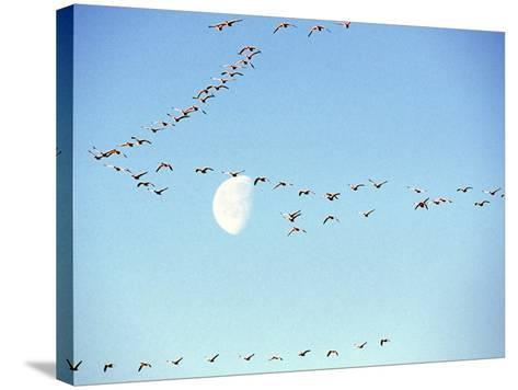 Flock of Snow Geese Flies before a Setting Moon, Washington, USA-William Sutton-Stretched Canvas Print
