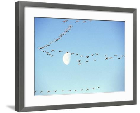 Flock of Snow Geese Flies before a Setting Moon, Washington, USA-William Sutton-Framed Art Print