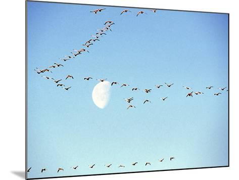 Flock of Snow Geese Flies before a Setting Moon, Washington, USA-William Sutton-Mounted Photographic Print