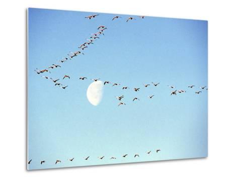 Flock of Snow Geese Flies before a Setting Moon, Washington, USA-William Sutton-Metal Print