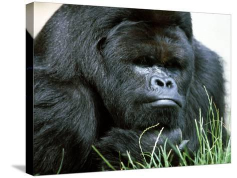 Gorilla--Stretched Canvas Print