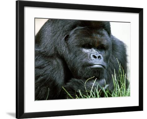 Gorilla--Framed Art Print