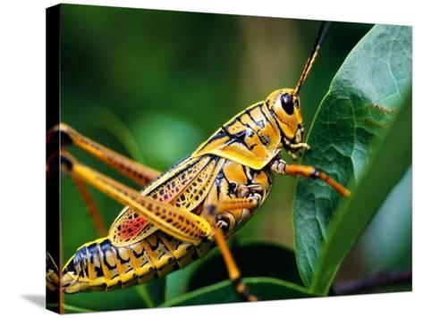 Grasshopper, U.S.A.-Greg Johnston-Stretched Canvas Print