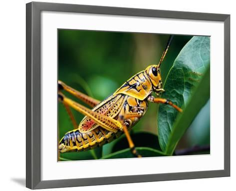 Grasshopper, U.S.A.-Greg Johnston-Framed Art Print