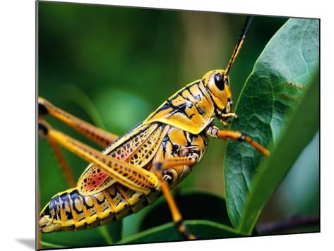 Grasshopper, U.S.A.-Greg Johnston-Mounted Photographic Print