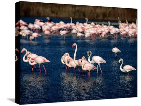 Flock of Pink Flamingoes, Camargue, France-Jean-Bernard Carillet-Stretched Canvas Print