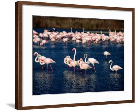 Flock of Pink Flamingoes, Camargue, France-Jean-Bernard Carillet-Framed Art Print