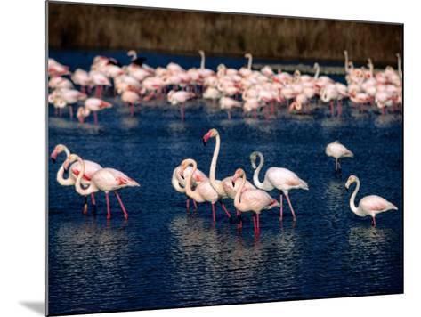 Flock of Pink Flamingoes, Camargue, France-Jean-Bernard Carillet-Mounted Photographic Print