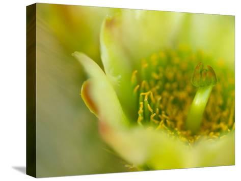 Close View of a Teddy Bear Cholla Cactus Flower-Raul Touzon-Stretched Canvas Print