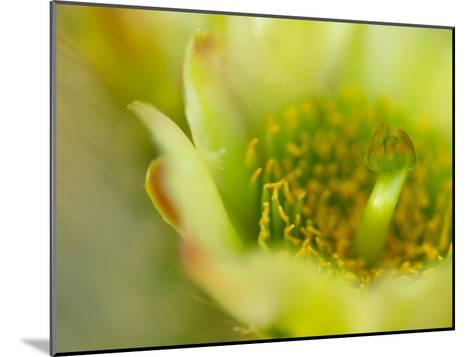 Close View of a Teddy Bear Cholla Cactus Flower-Raul Touzon-Mounted Photographic Print