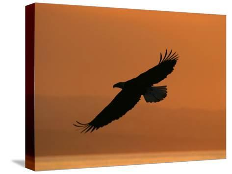 American Bald Eagle Soaring at Sunset (Haliaeetus Leucocephalus)-Roy Toft-Stretched Canvas Print