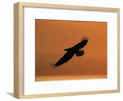 American Bald Eagle Soaring at Sunset (Haliaeetus Leucocephalus)-Roy Toft-Framed Art Print