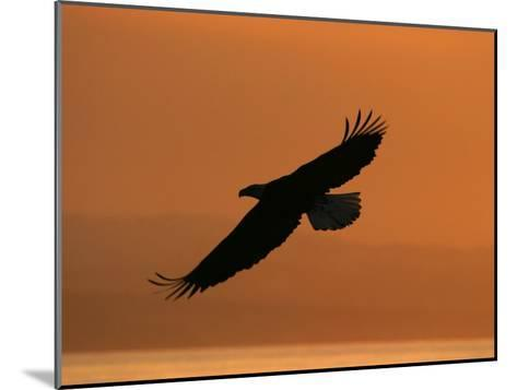 American Bald Eagle Soaring at Sunset (Haliaeetus Leucocephalus)-Roy Toft-Mounted Photographic Print