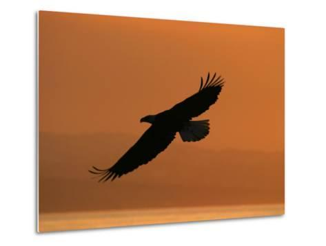 American Bald Eagle Soaring at Sunset (Haliaeetus Leucocephalus)-Roy Toft-Metal Print