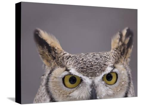 A Captive Great Horned Owl at a Recovery Center-Joel Sartore-Stretched Canvas Print