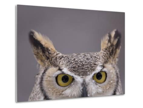 A Captive Great Horned Owl at a Recovery Center-Joel Sartore-Metal Print