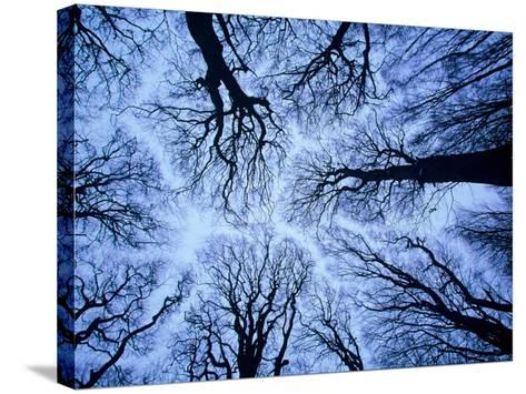 Winter View of Canopy, Jasmund National Park, Island of Ruegen, Germany-Christian Ziegler-Stretched Canvas Print