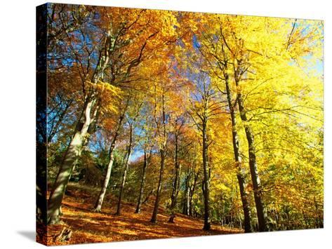 Trees Covered in Yellow Autumn Leaves, Jasmund National Park, Island of Ruegen, Germany-Christian Ziegler-Stretched Canvas Print