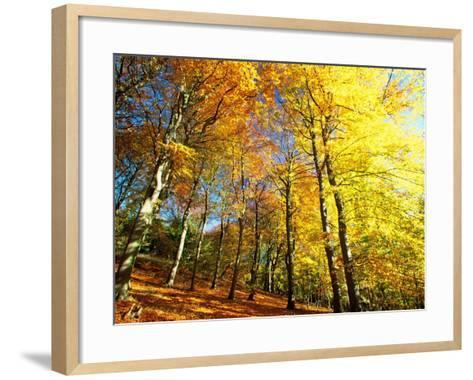 Trees Covered in Yellow Autumn Leaves, Jasmund National Park, Island of Ruegen, Germany-Christian Ziegler-Framed Art Print
