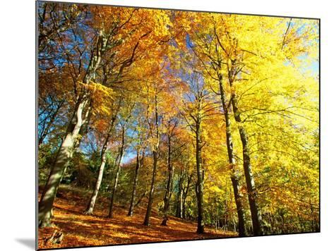 Trees Covered in Yellow Autumn Leaves, Jasmund National Park, Island of Ruegen, Germany-Christian Ziegler-Mounted Photographic Print
