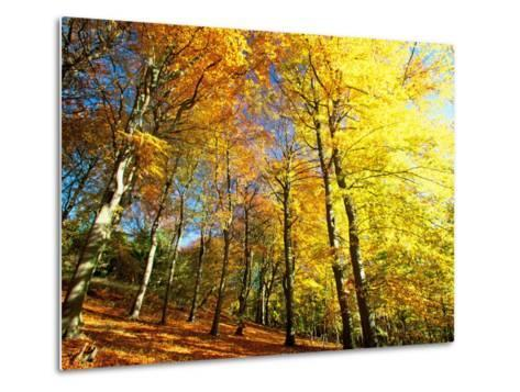 Trees Covered in Yellow Autumn Leaves, Jasmund National Park, Island of Ruegen, Germany-Christian Ziegler-Metal Print