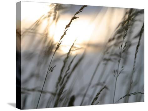 Bright Sunlight Shining on Water Behind a Silhouete of Tall Prarie Grass--Stretched Canvas Print