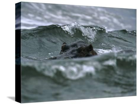 Hippopotamus Peering Out of the Surf-Michael Nichols-Stretched Canvas Print