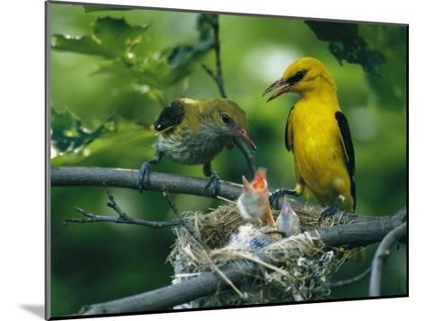 Golden Orioles Feeding Their Nest of Hungry Chicks-Klaus Nigge-Mounted Photographic Print