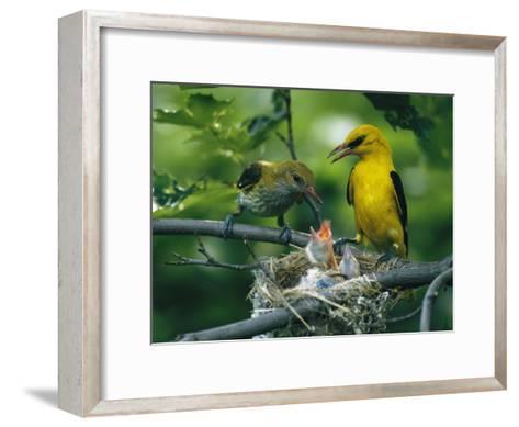 Golden Orioles Feeding Their Nest of Hungry Chicks-Klaus Nigge-Framed Art Print