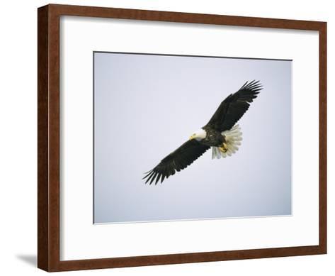 American Bald Eagle in Flight-Tom Murphy-Framed Art Print